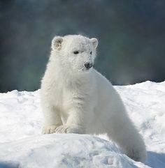 Animals And Pets, Baby Animals, Adorable Animals, Baby Polar Bears, Panda Bears, Bear Photos, Otters, White Bears, Brown Bears