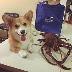 "Banana: My parents go diving today and bring me back a cray fish friend called ""dinner"".#crayfish #perthscuba #rottnestisland #openwaterdiver #padi #perthlife #instacorgi #welshcorgi #corgicommunity #corgistagram #corgicommunity #corgipuppy #puppyeyes #puppylove #corgicommunity #dogsofinstagram by the_corgi_bros http://ift.tt/1L5GqLp"