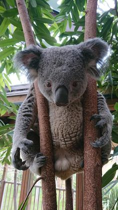 Super Cute Animals, Cute Funny Animals, Animals And Pets, Baby Animals, Wild Animals, Koala Marsupial, Australian Animals, Mundo Animal, Tier Fotos