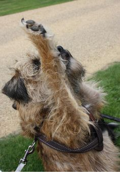 """""""Paws up iv yoo want 2 gwavy bones. Border Terrier Puppy, Terrier Dogs, Fluffy Puppies, Dogs And Puppies, Doggies, Best Dog Breeds, Best Dogs, Cute Boarders, Brown Dog"""