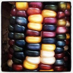 Indian corn close up- love these colors for Fall