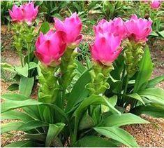 Curcuma alismatifolia 'Kimono Deep Rose' - Google Search