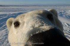 Happy Polar Bear Week!!!