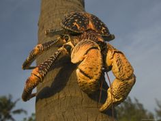 The Giant Coconut Crab is the world's largest terrestial crab, found on Chumbe Island, Zanzibar West, Tanzania