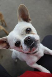 Ferdinand is an adoptable French Bulldog Dog in San Diego, CA. Though a little dog, Ferdinand has a big dog name for a big dog personality! At just under 20 pounds, Ferdinand has the classic bat ears...