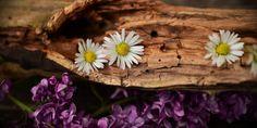 Flowers Bark Lilacs