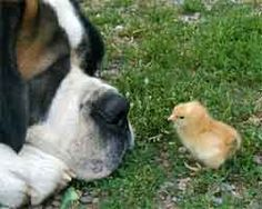 St. Bernard and Chick. The chick is hardly as big as the dog's nose.