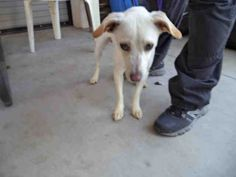 I am a spayed female, white Parson (Jack) Russell Terrier mix.  The shelter staff think I am about 1 year old.  I have been at the shelter since Aug 07, 2014. For more information about this animal, call: Upland Animal Shelterat(909) 931-4185 Ask for information about animal ID number A037549