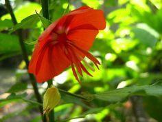 Anexo:Géneros Malvaceae -