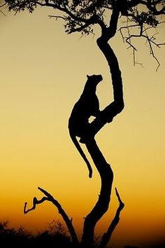 Big cat in a tree - what a great shot!