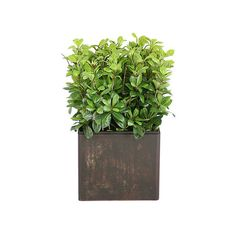 Silk Pittosporum Plant Southern Hospitality ❤ liked on Polyvore featuring home, home decor, floral decor, plants, fillers, flowers, green, southern home decor, green home decor and flower stems