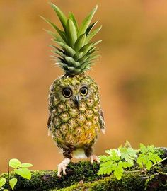 """Courtesy of Photoshop we discover the rare """"Pinehootle"""" a hybrid blend of a delicious pineapple and an owl. Funny Animal Videos, Funny Animal Pictures, Funny Animals, Cute Animals, Stupid Animals, Crazy Pictures, Photoshopped Animals, Animal Mashups, Images Gif"""