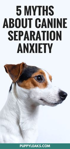 5 myths about treating separation anxiety in dogs. How to help manage your dog's separation anxiety, and why one tip alone might not be enough to cure your dog's anxiety. Separation anxiety in dogs can be difficult to treat, yet I've read over & over again that there's one magical tip that can cure it overnight. Unfortunately it's not that easy. Just like treating any sort of anxiety problem the solution is not quite so simple. #dogs #dogtraining #dogtips #dogcare