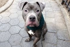 SAFE❤️❤️ 12/1/16 BY AMSTERDOG ANIMAL RESCUE❤️ THANK YOU❤️ 12/1/16 I GOT A SECOND CHANCE FOLKS!! I WAITED FOR YOU ALL DAY YESTERDAY!! WHY DIDN´T YOU COME FOR ME? TODAY I´M GONNA GET MURDERED THEY SAY!! PLEASE HURRY TO SAVE ME OUT OF HERE! Manhattan Center My name is SPIKE. My Animal ID # is A1097568. I am a neutered male blue and white am pit bull ter mix. The shelter thinks I am about 2 YEARS I came in the shelter as a STRAY on 11/21/2016 from NY 10451, owner surrender reason stated was…