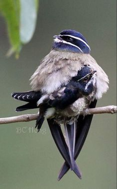 Whiskered treeswift Mama & chick. These lovely birds are native to Indonesia, Malaysia, the Philippines and Thailand. #birds #vintagebelle
