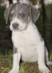 Presley~ is an adoptable American Bulldog Dog in Pearl River, NY. Presley is a sweet little 8 week old female American Bulldog puppy surrendered to our rescue in TN. Presley has the most beautiful whi...