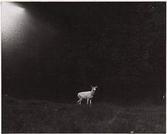 George Shiras, Albinos deer