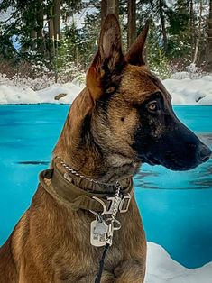 K9 Ares scoping out the area for any threats Malinois Puppies For Sale, Belgian Malinois Puppies, Wolfsbane, Dogs For Sale, Animals, Animales, Animaux, Animal, Animais