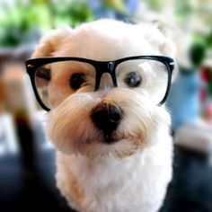 Dog with glasses, he