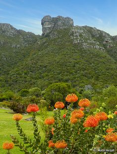 Pincushion Protea (Leucospermum) flowers at the Kirstenbosch National Botanical Garden in Cape Town, South Africa by Martin Heigan Amazing Gardens, Beautiful Gardens, Beautiful World, Beautiful Places, National Botanical Gardens, Jacob Zuma, Le Cap, Cape Town South Africa, Out Of Africa