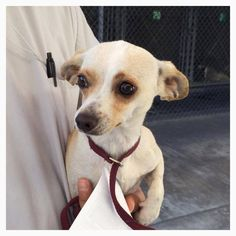 SAFE --- #A474533 Release date 10/23 I am a male, white and tan Chihuahua - Smooth Coated. Shelter staff think I am about 6 months old. I have been at the shelter since Oct 16, 2014.    City of San Bernardino Animal Control-Shelter. https://www.facebook.com/photo.php?fbid=10203778883010118&set=a.10203202186593068&type=3&theater