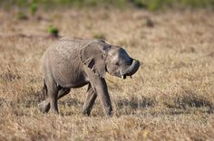 Young Elephant side view