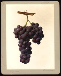 """Artist: Steadman, Royal Charles, b. 1875  Scientific name: Vitis  Common name: grapes  Variety: Banner   """"U.S. Department of Agriculture Pomological Watercolor Collection. Rare and Special Collections, National Agricultural Library, Beltsville, MD 20705"""""""