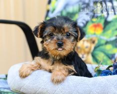 #YorkshireTerrier #Charming #PinterestPuppies #PuppiesOfPinterest #Puppy #Puppies #Pups #Pup #Funloving #Sweet #PuppyLove #Cute #Cuddly #Adorable #ForTheLoveOfADog #MansBestFriend #Animals #Dog #Pet #Pets #ChildrenFriendly #PuppyandChildren #ChildandPuppy #LancasterPuppies www.LancasterPuppies.com Mans Best Friend, Best Friends, Lancaster Puppies, Yorkshire Terrier Puppies, Puppies For Sale, Puppy Love, Pets, Animals, Beat Friends