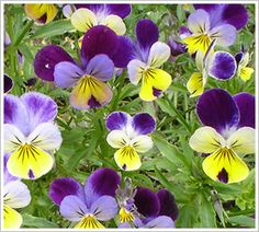 Latin name: Viola, Common name: Violet, Pansy Many colors available