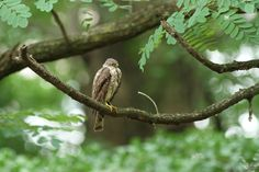 https://flic.kr/p/uuh3JP   Japanese Sparrowhawk, juvenile male   Not the best of images, I know. The bird suddenly landed on the branch close to me. I quickly changed lenses and shot a few frames... and the bird was gone. I have to admit, I didn't know what I was shooting.   私は今日までツミを知らない人間でした。