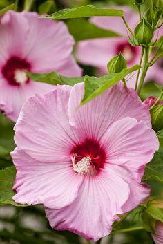 Pink Hibiscus 'Fantasia'