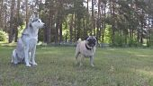Siberian Husky and Pug. http://www.istockphoto.com/gb/video/siberian-husky-and-pug-slow-motion-gm696372478-128874249 #istockphoto #istock #pug #siberianhusky #husky #dogs #pets #animals #videos #footage #개 #イヌ #كلب