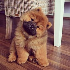 The Chow Chow: A Complete Guide Doggie Designer chow chow puppy - Dogs Cute Fluffy Dogs, Cute Little Puppies, Cute Dogs And Puppies, Corgi Pups, Tiny Puppies, Collie Puppies, Dachshund Puppies, Dogs Pitbull, Baby Dogs