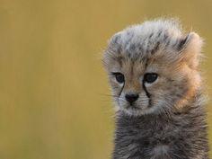 Cute Baby Cheetah