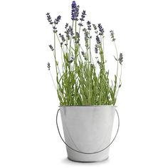 Potting Shed Creations Garden in a Pail - Lavender ($25) ❤ liked on Polyvore featuring plants, flowers, home, fillers and decor