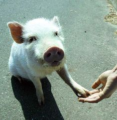 Hand of pig