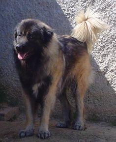 Cão da Serra da Estrela (PORTUGUESE)