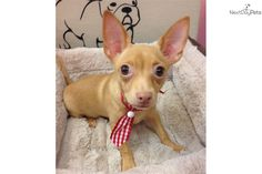 I am a cute Chihuahua puppy, looking for a home on NextDayPets.com!