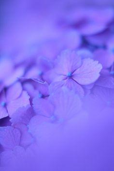 hydrangea: luminous blue | Flickr - Photo Sharing!