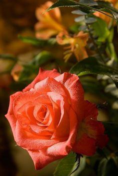 rosa 61