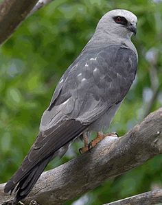 http://www.planetofbirds.com/Master/ACCIPITRIFORMES/Accipitridae/pics/Mississippi%20Kite.gif