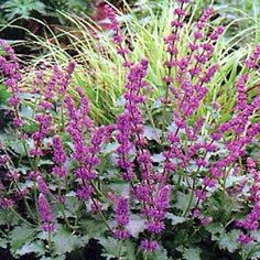 Salvia- Purple Rain (to go in between the Snow Hill Salvia? Herbaceous Perennials, Flowers Perennials, Planting Flowers, Vintage Outdoor Decor, Purple Plants, Deer Resistant Plants, Border Plants, Different Plants, Salvia