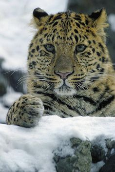 is the Amur Leopard, the world's rarest cat, native to Siberia. Only about ~20 remain in the wild, and at least 100 individuals are needed to ensure survival. *** Extinction is a very real possibility for this beautiful big cat, unique among other leopard species. If you wish to contribute to helping save this beautiful animal from disappearing forever, please visit http://www.wwf.org.uk/how_you_can_help/amur_leopard_appeal.cfm to learn how you can help. **...
