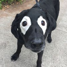 Black lab whose fur is slowly turning white gets Photoshop battle