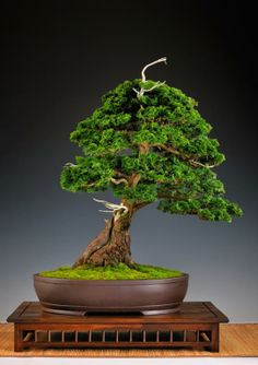 Galerie: Bijzondere bonsai in beeld - Foto 3/7