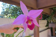 A beautiful and hardy, EASY to grow Mexican species, Laelia anceps, a native of Mexico but also occurs more rarely in Guatemala & Honduras.  Laelia anceps' flowers occur in many forms of lavender, white and blue. One of the hardiest for cold tolerance of any of the Cattleya alliance, grows nicely on my patio in Santa Maria, CA. The blooming season is Nov. through January. Orchid Show, Mexico House, Passion Flower, Santa Maria, Honduras, Houseplants, Orchids, January, Lavender