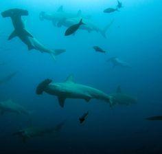 Hammerhead Sharks, Galapagos Island