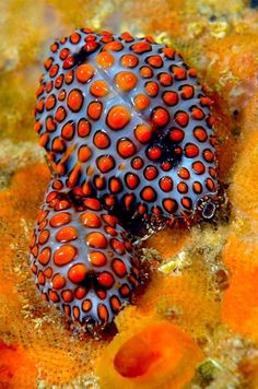 ronbeckdesigns:  Cowries