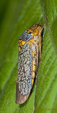 Oncometopia orbona, Broad-headed Sharpshooter, Subfamily Cicadellinae, Brochosomes