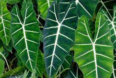 Greenhouse Plants, Garden Plants, Indoor Plants, Elephant Ear Plant, Elephant Ears, Buy Plants, Types Of Plants, Begonia, Planta Alocasia